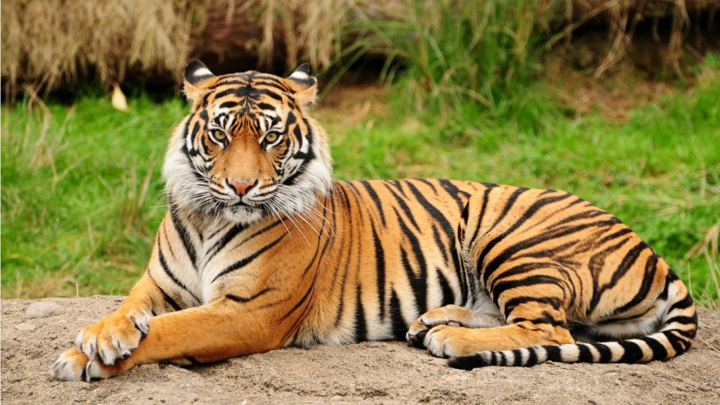 Desktop-Tiger-Wallpaper-HD-1366x768-1-1024x576
