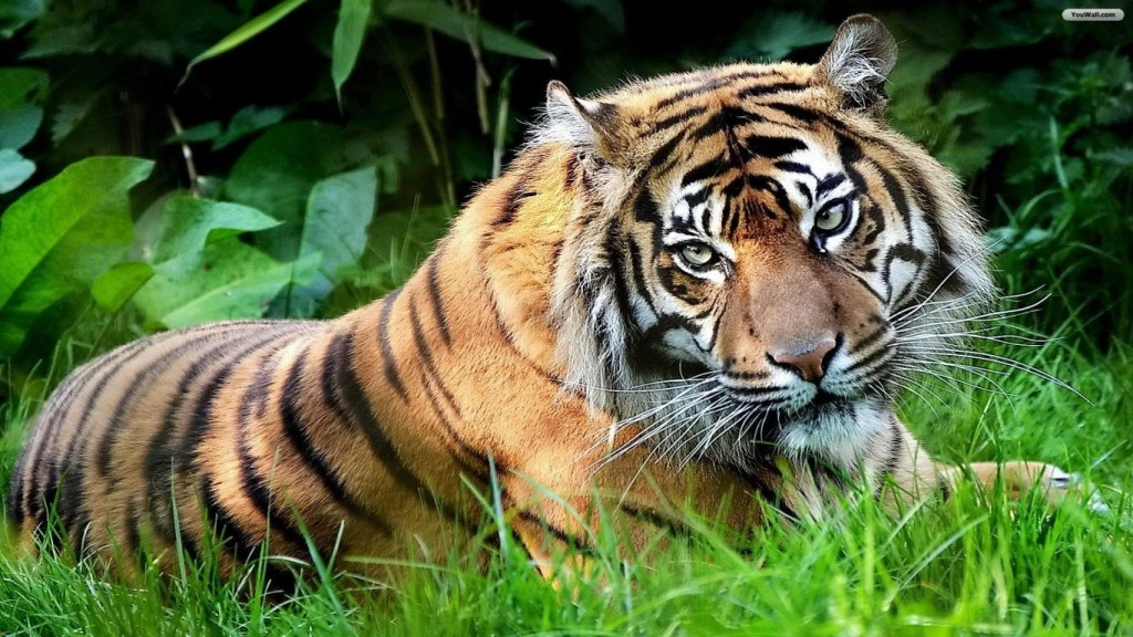 Desktop Tiger Wallpaper HD 1366x768 10