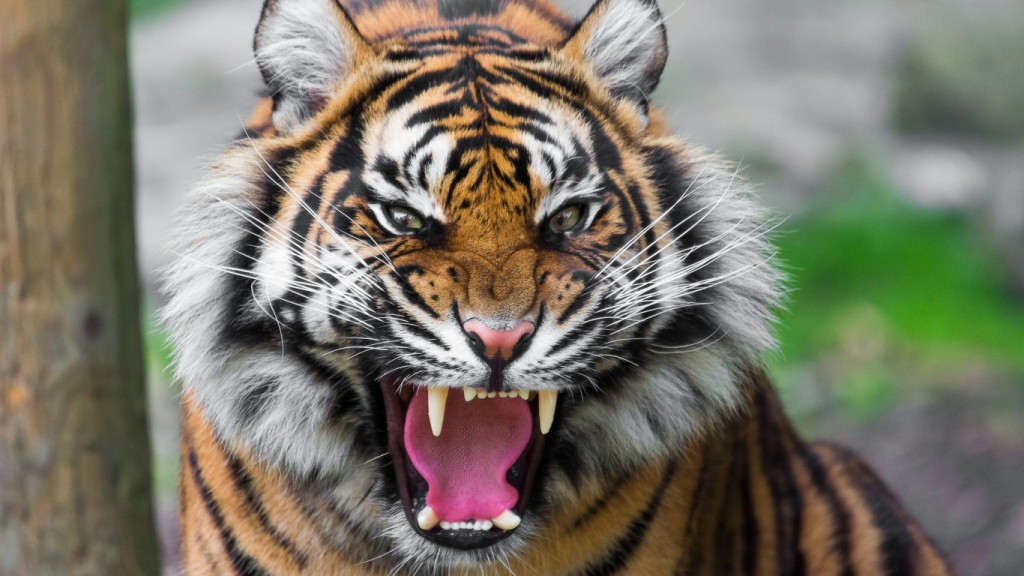 Desktop Tiger Wallpaper HD 1366x768 2