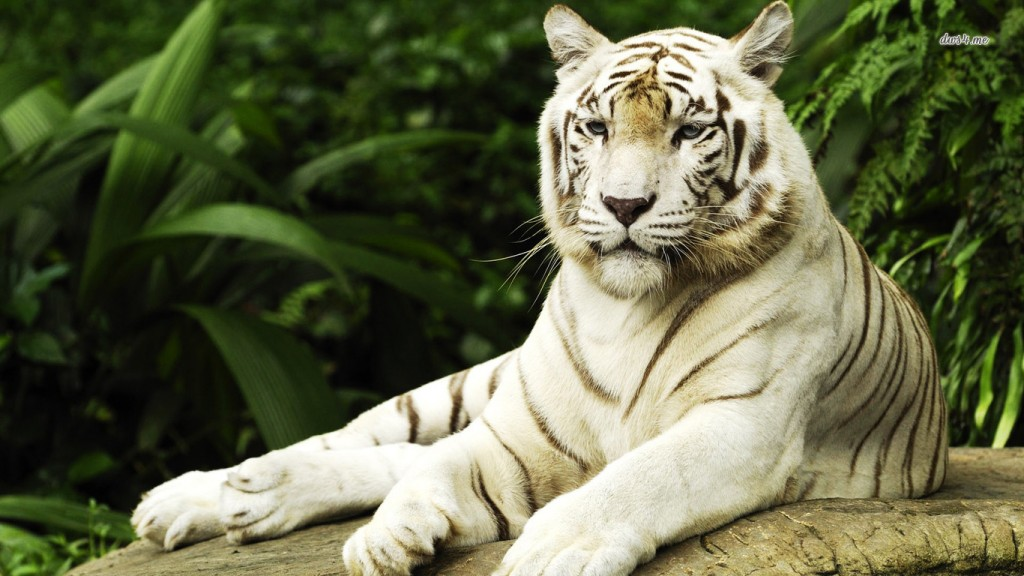 Desktop-Tiger Wallpaper HD 1366x768 3