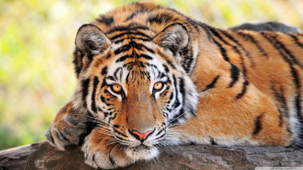 Desktop-Tiger Wallpaper HD 1366x768 4