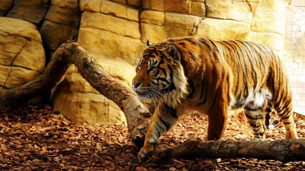 Desktop-Tiger Wallpaper HD 1366x768 5