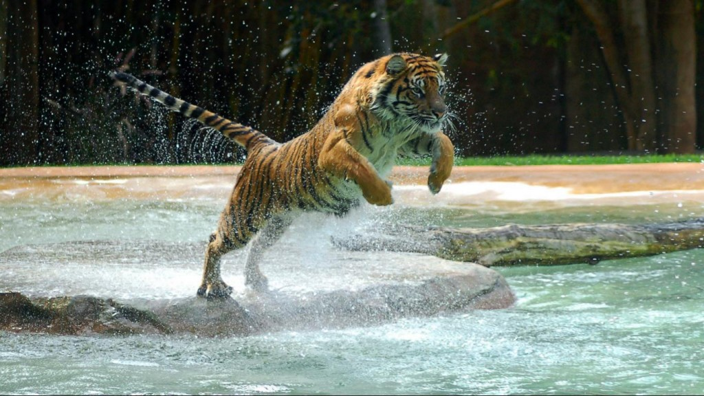 Desktop Tiger Wallpaper HD 1366x768 6