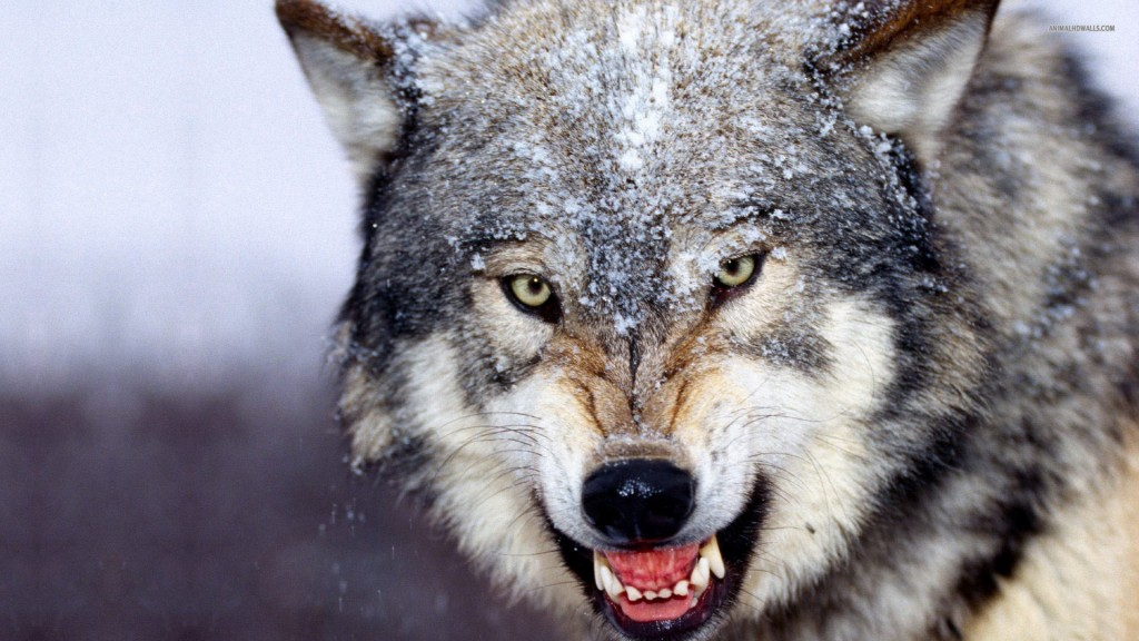 Desktop-Wolf-Wallpaper-HD-1920x1080-4-1024x576