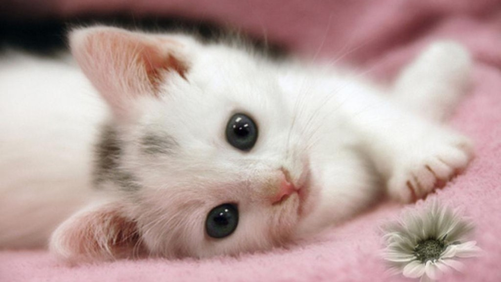 Cute Desktop Backgrounds Wallpapers cute-white-cat-kitten