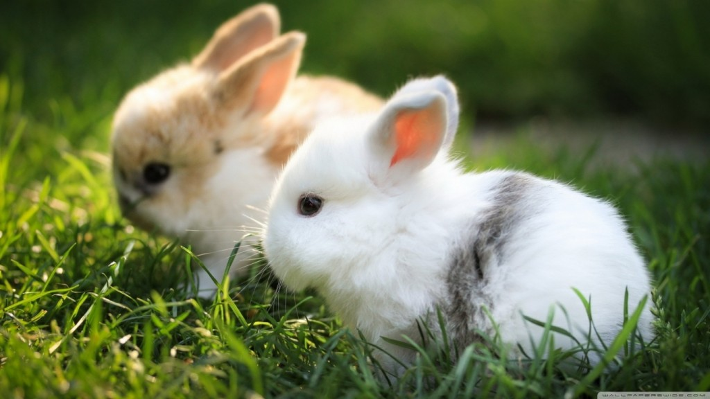 Cute Desktop Backgrounds Wallpapers cute_bunnies_2-wallpaper-1366x768