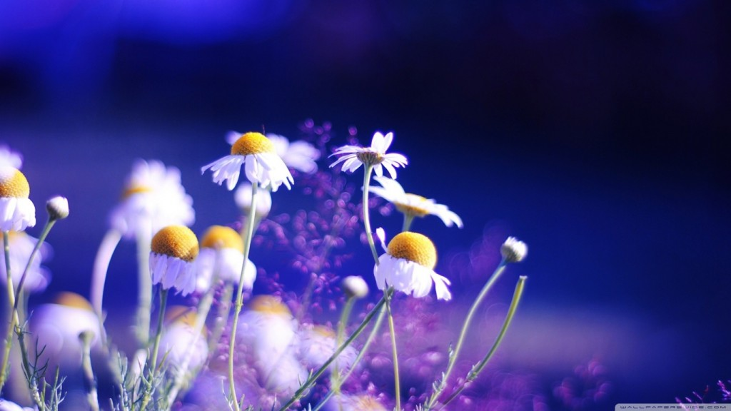 Desktop HD Flower Wallpaper beautiful_chamomile_flowers-wallpaper-1366x768