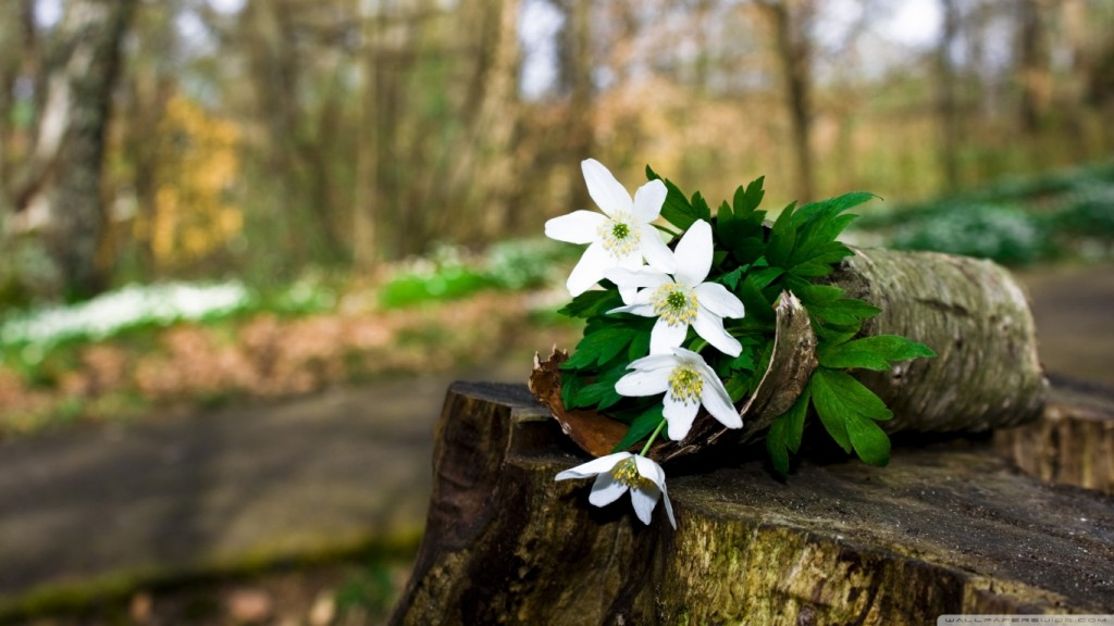 Desktop-HD-Blumen-Tapete spring_forest_flowers-wallpaper-1366x768
