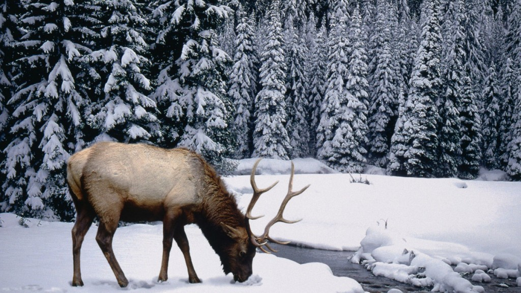 winter wallpaper Winter_stag_1366x768