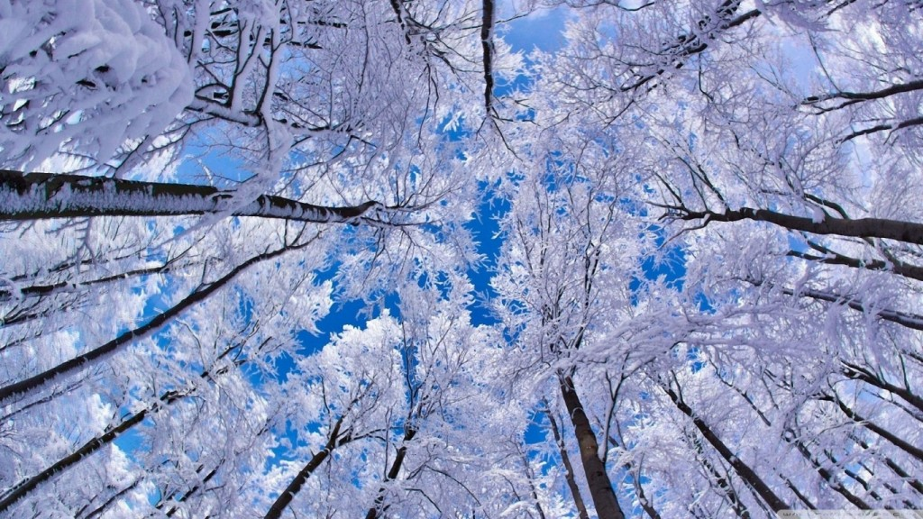winter wallpaper looking_up_through_trees_winter-wallpaper-1366x768