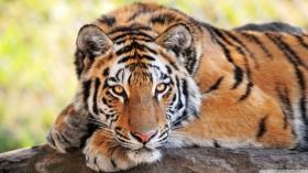 Desktop Tiger Wallpaper HD