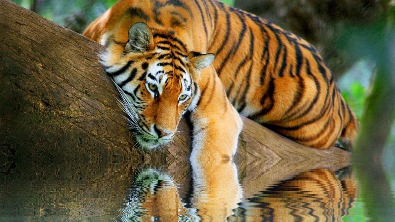 Bureau tiger fond d 39 cran hd - Tiger hd wallpaper for pc ...