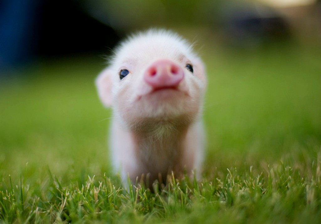 Animals wallpaper HD pig