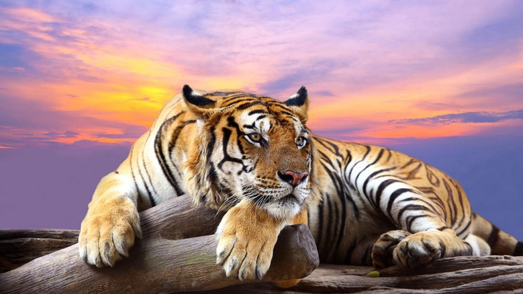 Animals wallpaper HD tiger