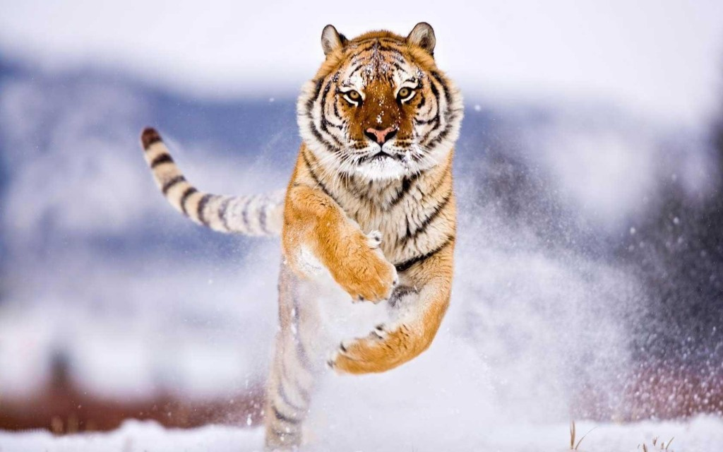 Animals wallpaper HD tiger in snow