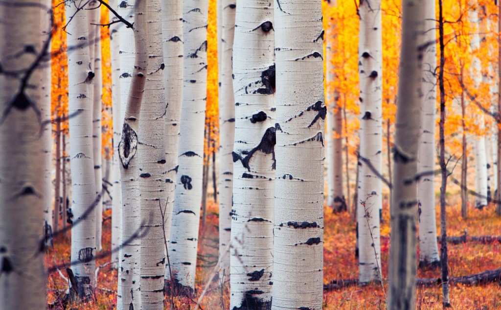 Birch-tree-wallpaper2-1024x633