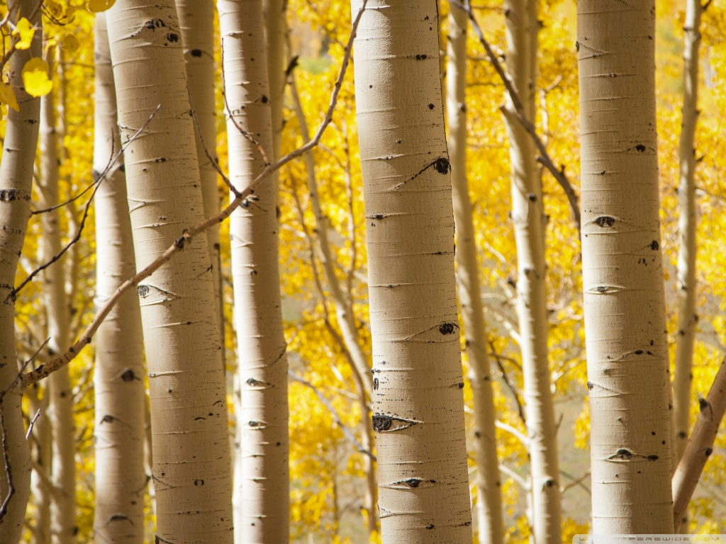 Birch-tree-wallpaper4