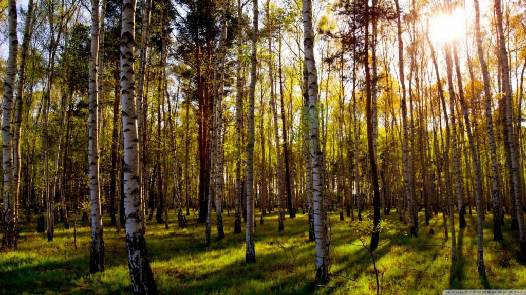 Birch-tree-wallpaper7-1024x575
