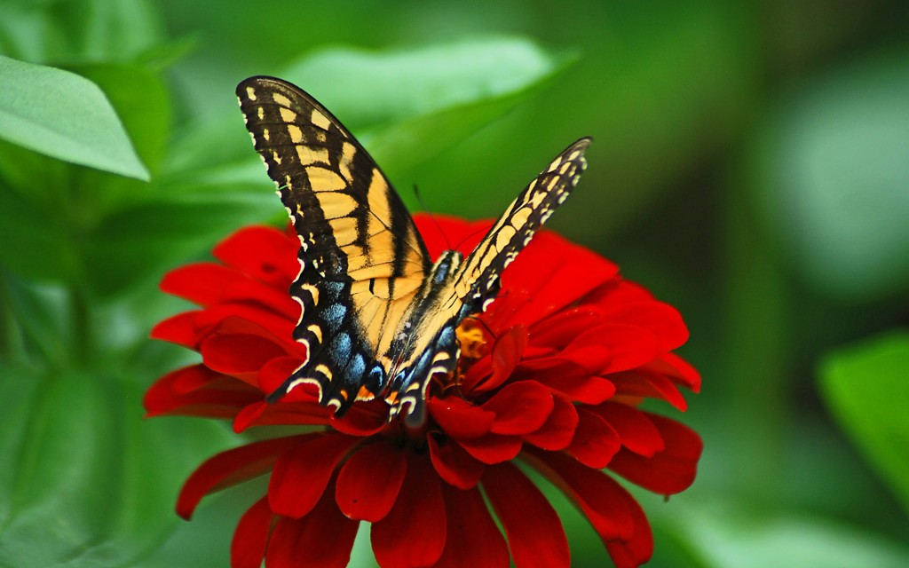 Butterfly_red_flower_wallpaper