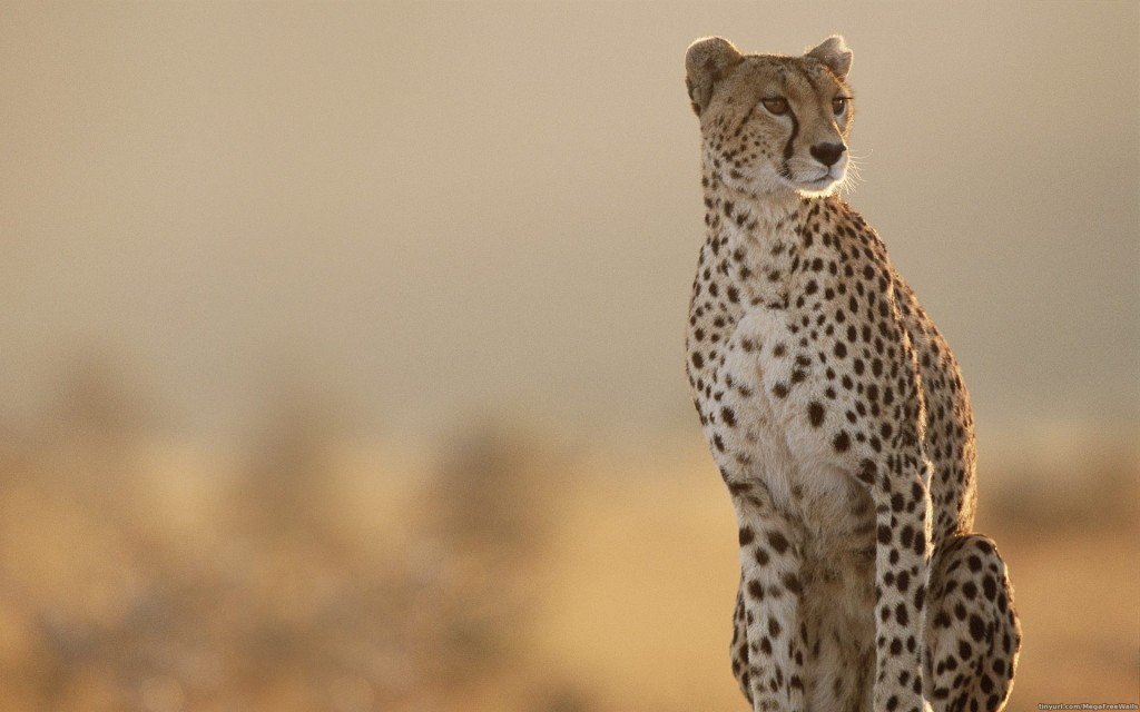 Cheetah wallpaper