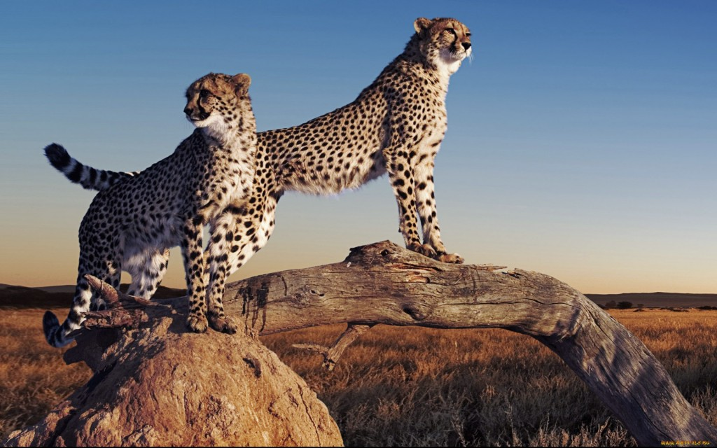 Cheetah-wallpaper2-1024x640