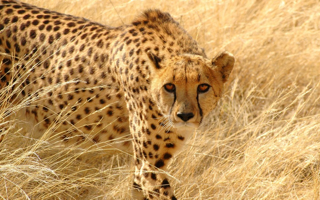 Cheetah wallpaper4