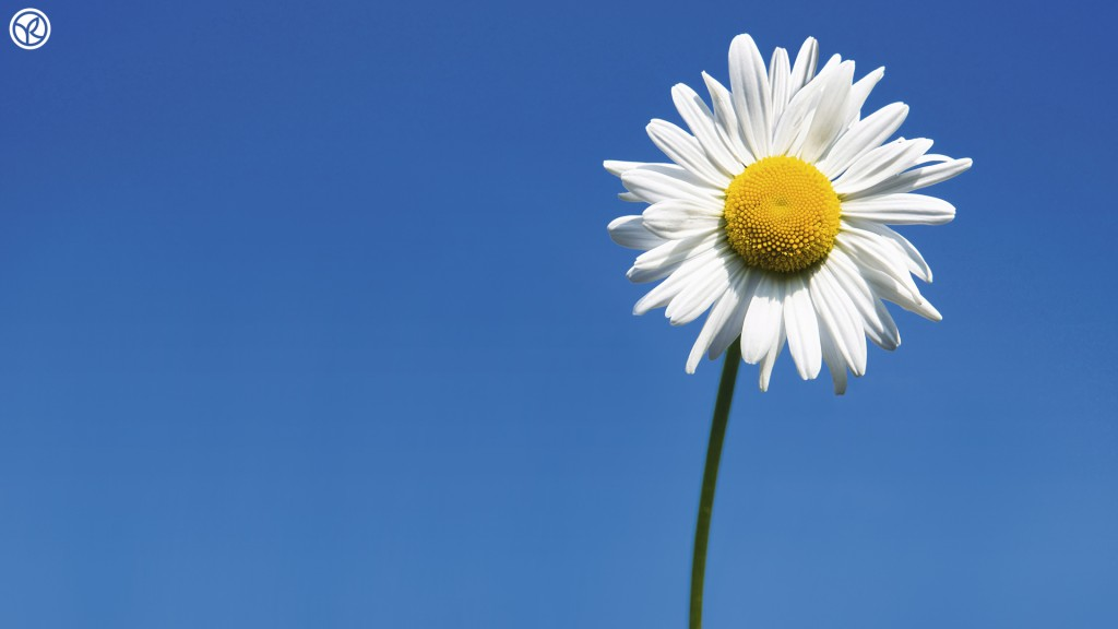 Daisy-wallpaper2-1024x576