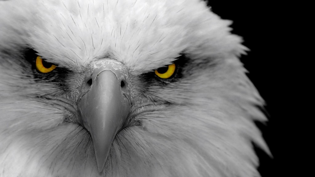 Eagle wallpaper4