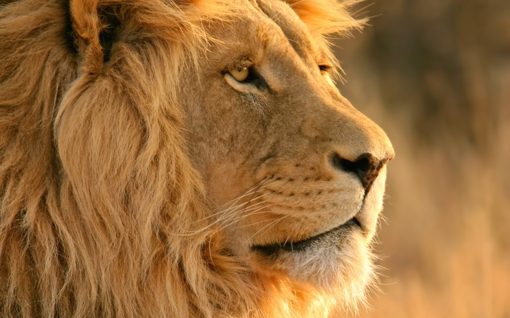 Lion-Wallpapers-1024x640