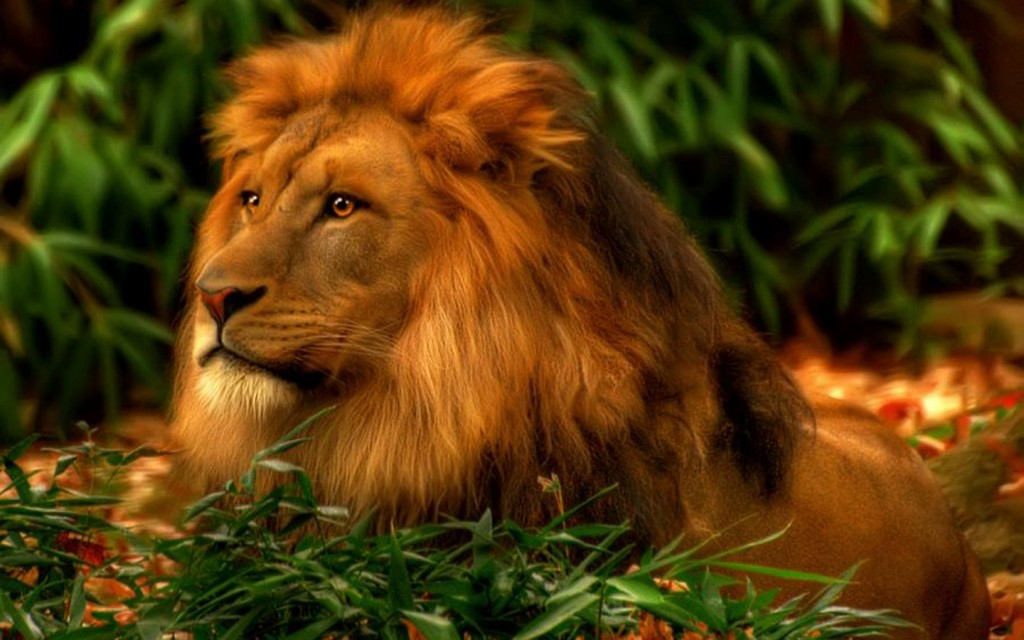 Lion wallpaper hd2