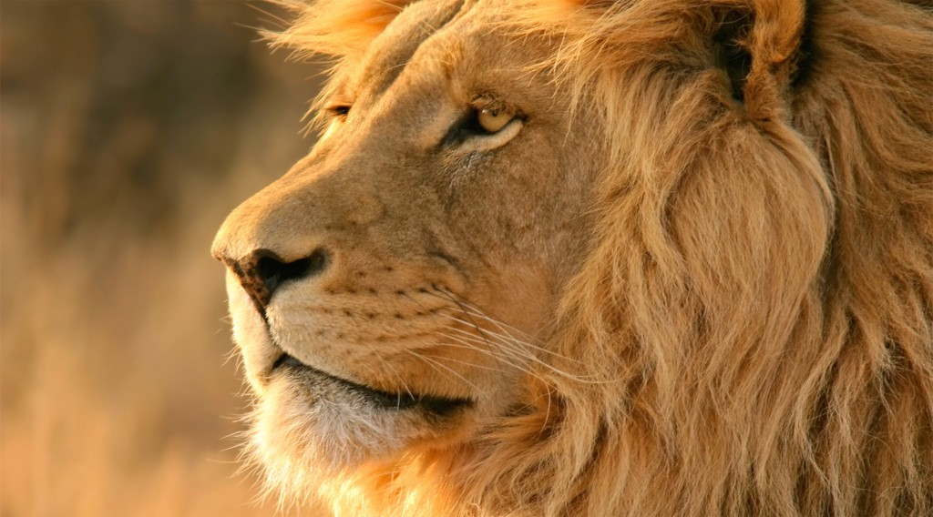 Lion-wallpaper-hd3-1024x568