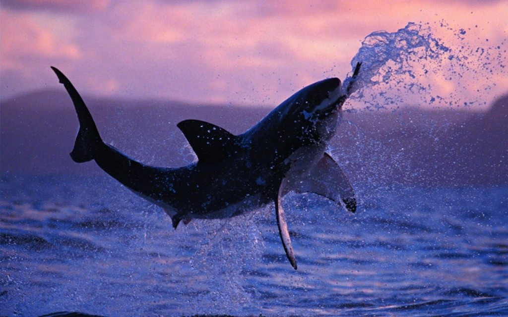 Shark wallpaper2