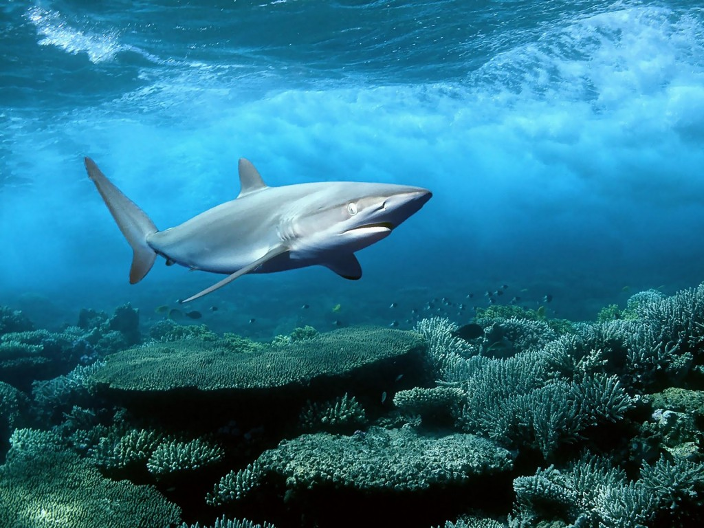 Shark-wallpaper5-1024x768