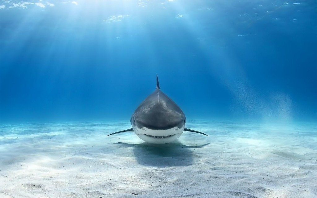 Shark Wallpaper6