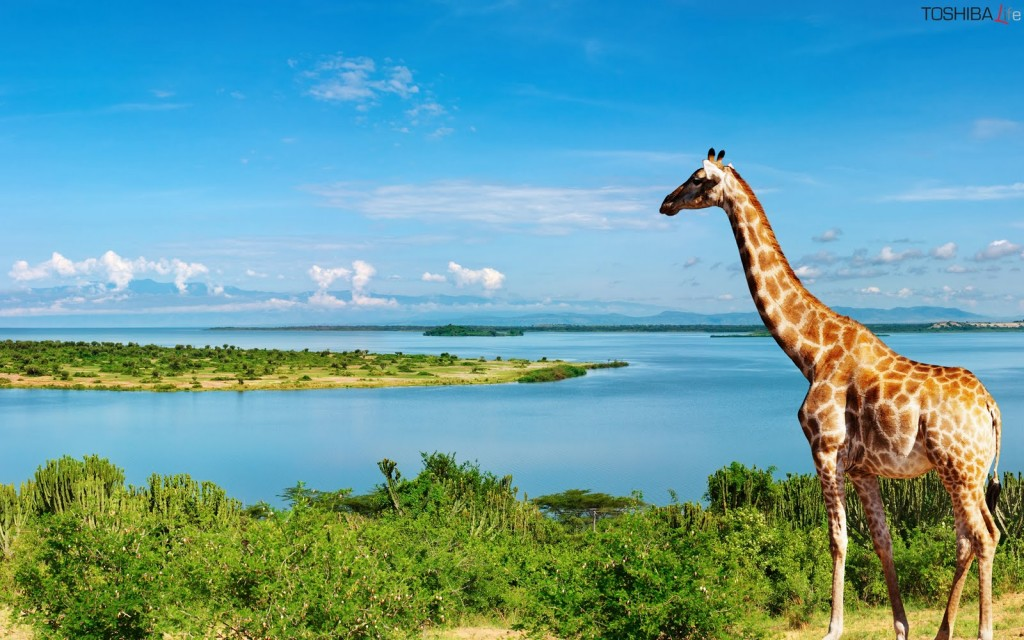 giraffe-wallpaper1-1024x640