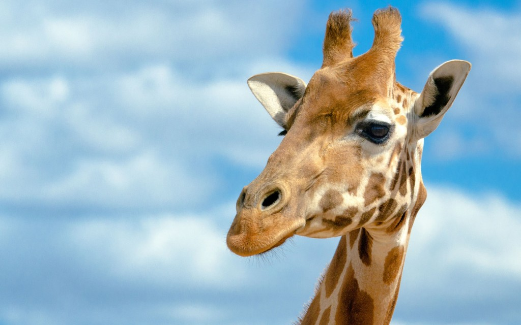 giraffe behang HD