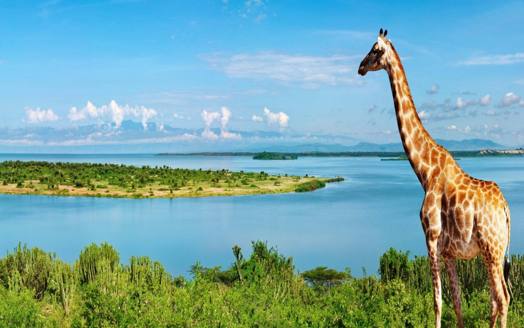 giraffe Wallpaper4