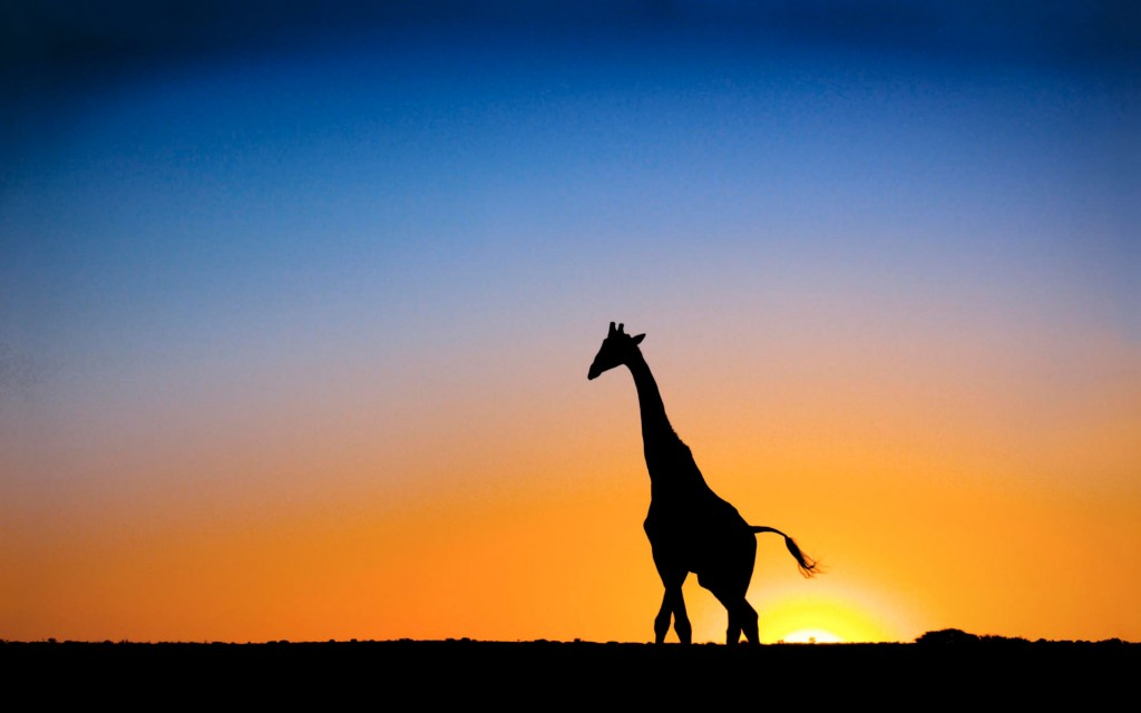 giraffe Wallpaper6
