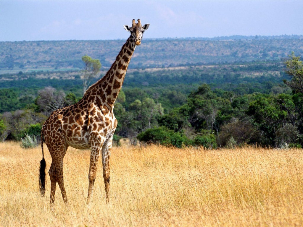 giraffe wallpaper7