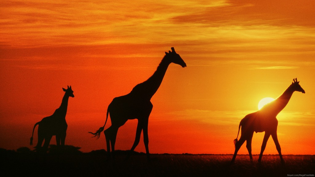 giraffe wallpaper8
