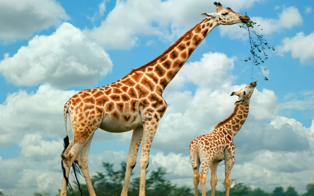 giraffe-wallpaper9-1024x640