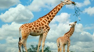 Giraffe Tapete HD
