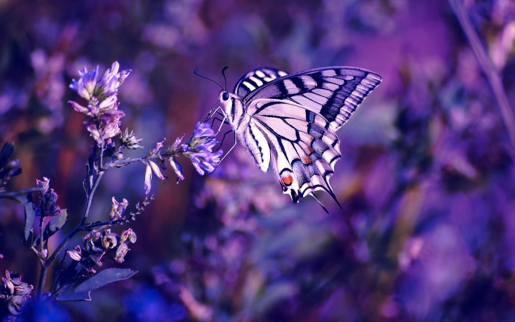 lavender wallpaper1