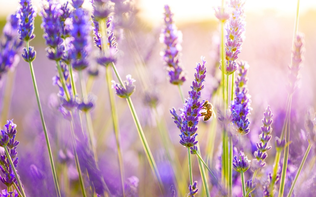 lavender-wallpaper2-1024x640