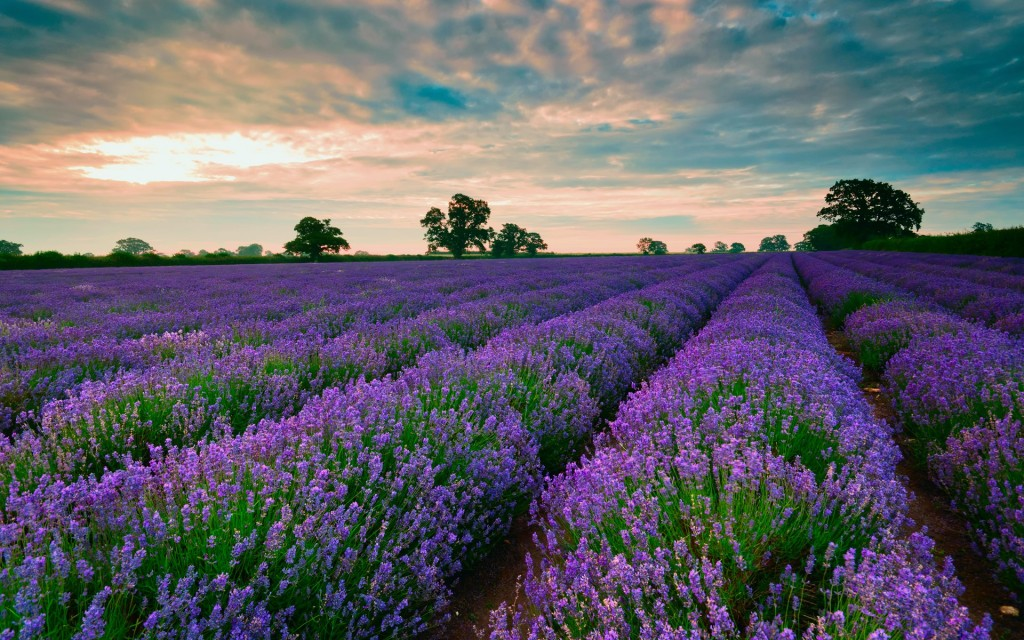 lavender-wallpaper3-1024x640