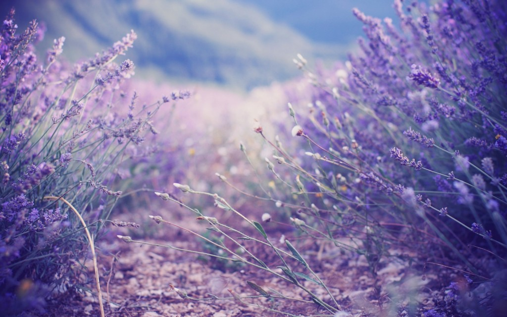 lavender wallpaper5