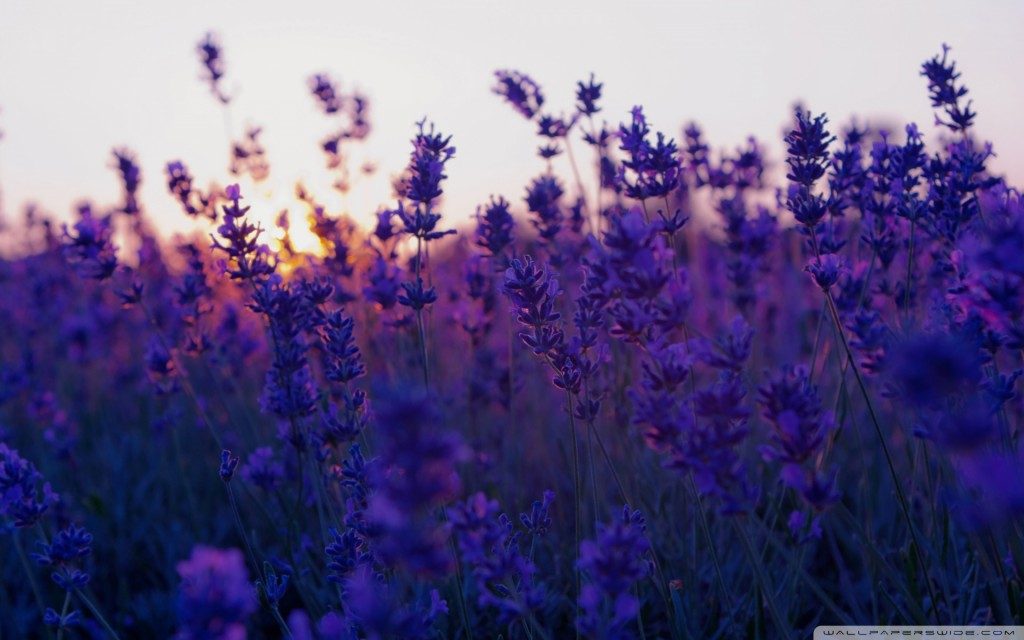 lavender wallpaper6