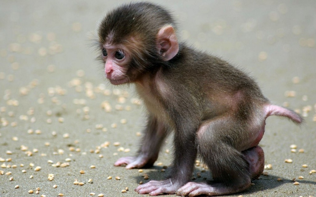 monkey-wallpaper5-1024x640
