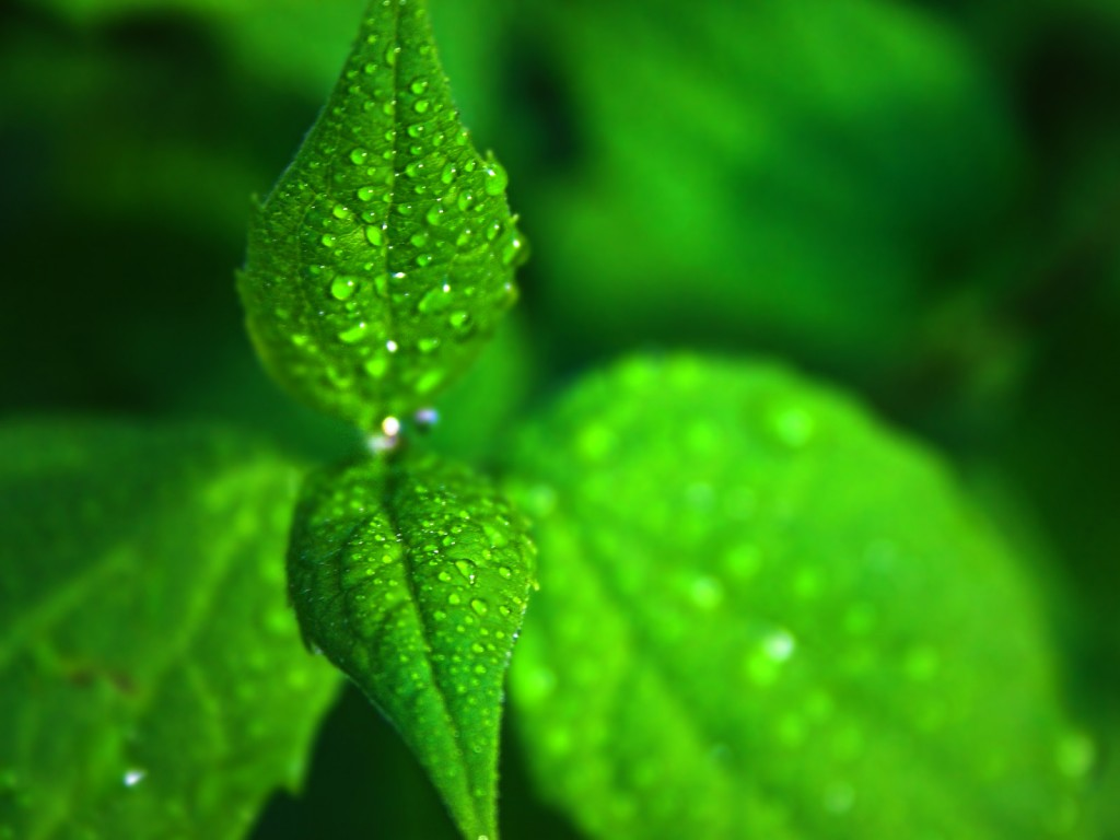 menthe wallpaper2