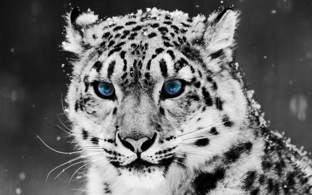 snow-leopard-wallpaper1-1024x640